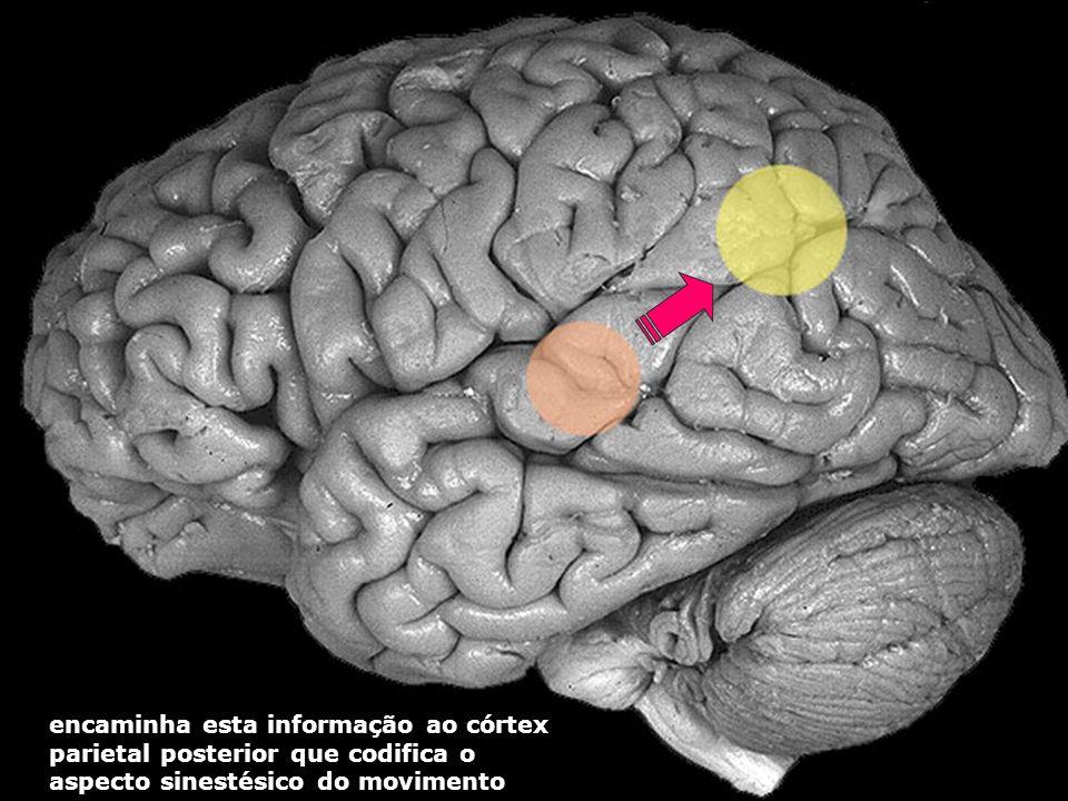 encaminha esta informação ao córtex parietal posterior que codifica o aspecto sinestésico do movimento