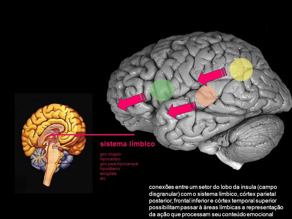 sistema límbico giro cíngulo. hipocampo. giro para-hipocampal. hipotálamo. amigdala. etc.