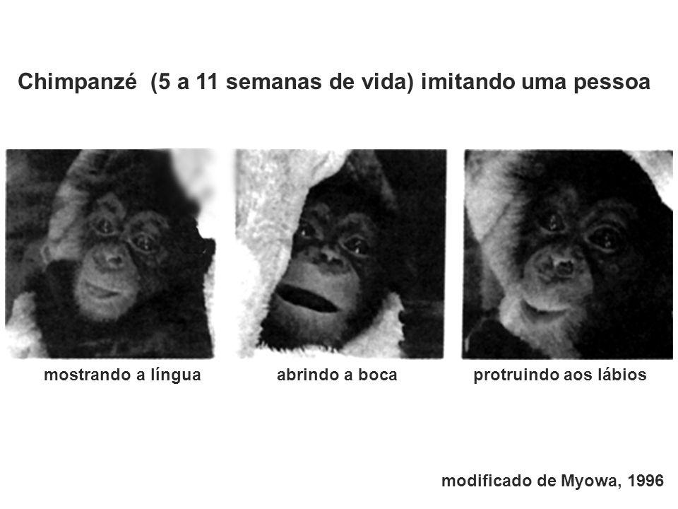 Chimpanzé (5 a 11 semanas de vida) imitando uma pessoa