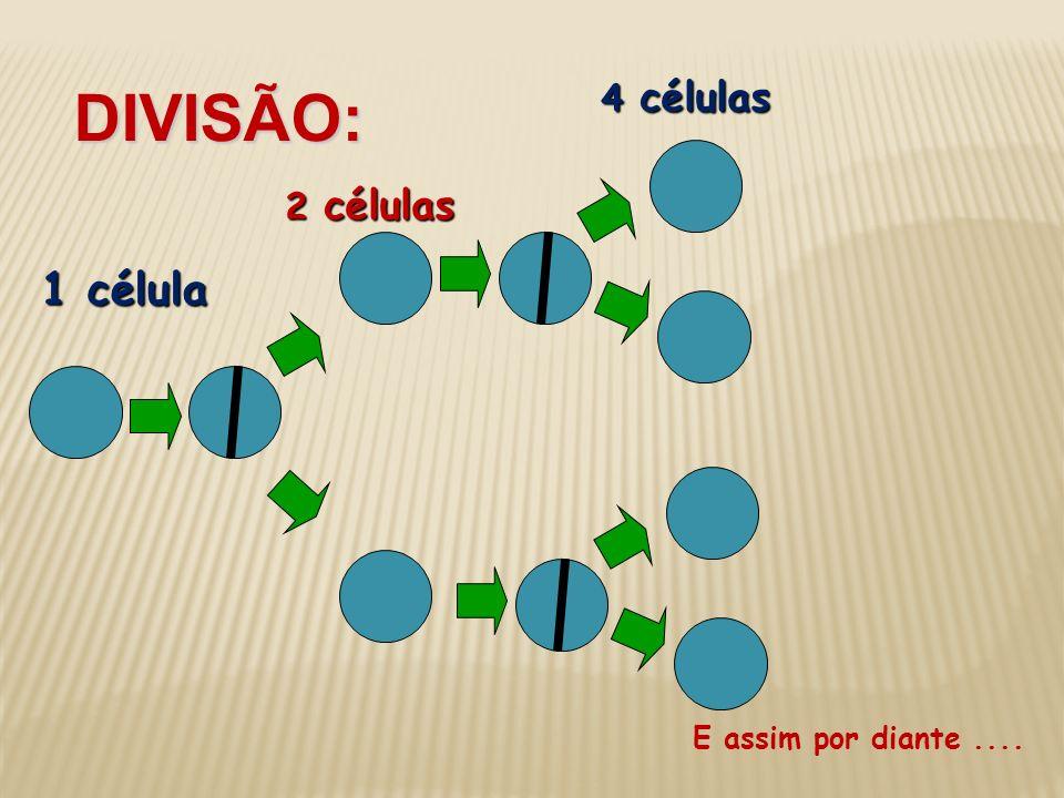 DIVISÃO: 4 células 2 células 1 célula E assim por diante ....