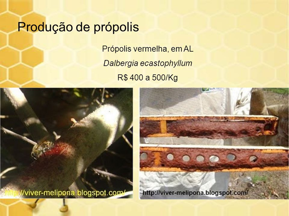 Produção de própolis Própolis vermelha, em AL Dalbergia ecastophyllum