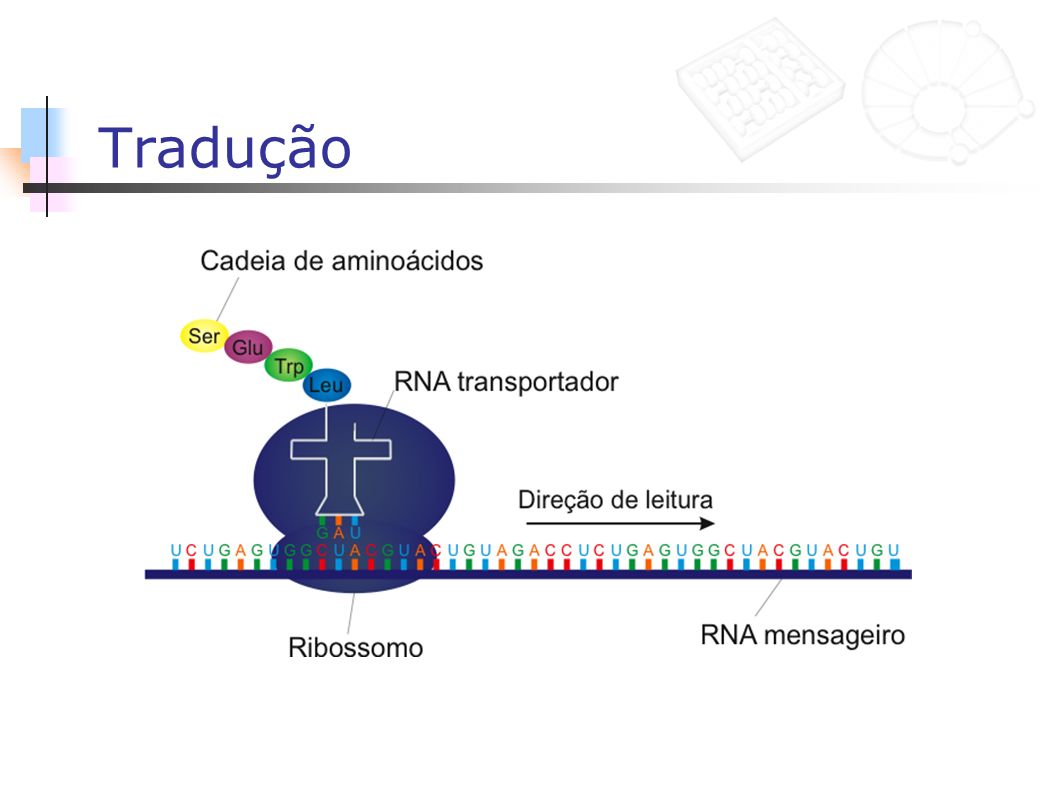 Tradução Interessante: 64 codons, apenas 20 aminoacidos.