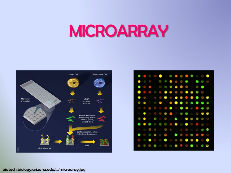 MICROARRAY biotech.biology.arizona.edu/.../microaray.jpg