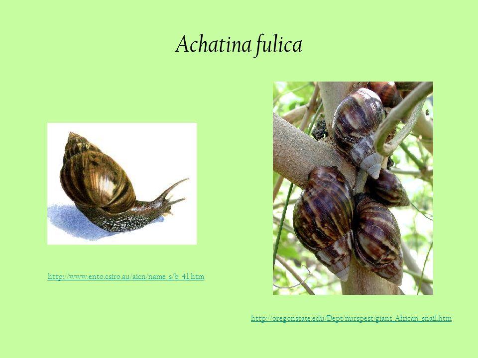 Achatina fulica http://www.ento.csiro.au/aicn/name_s/b_41.htm