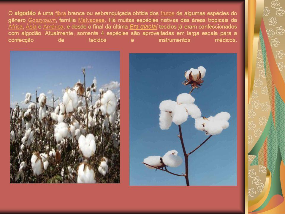 O algodão é uma fibra branca ou esbranquiçada obtida dos frutos de algumas espécies do gênero Gossypium, família Malvaceae.