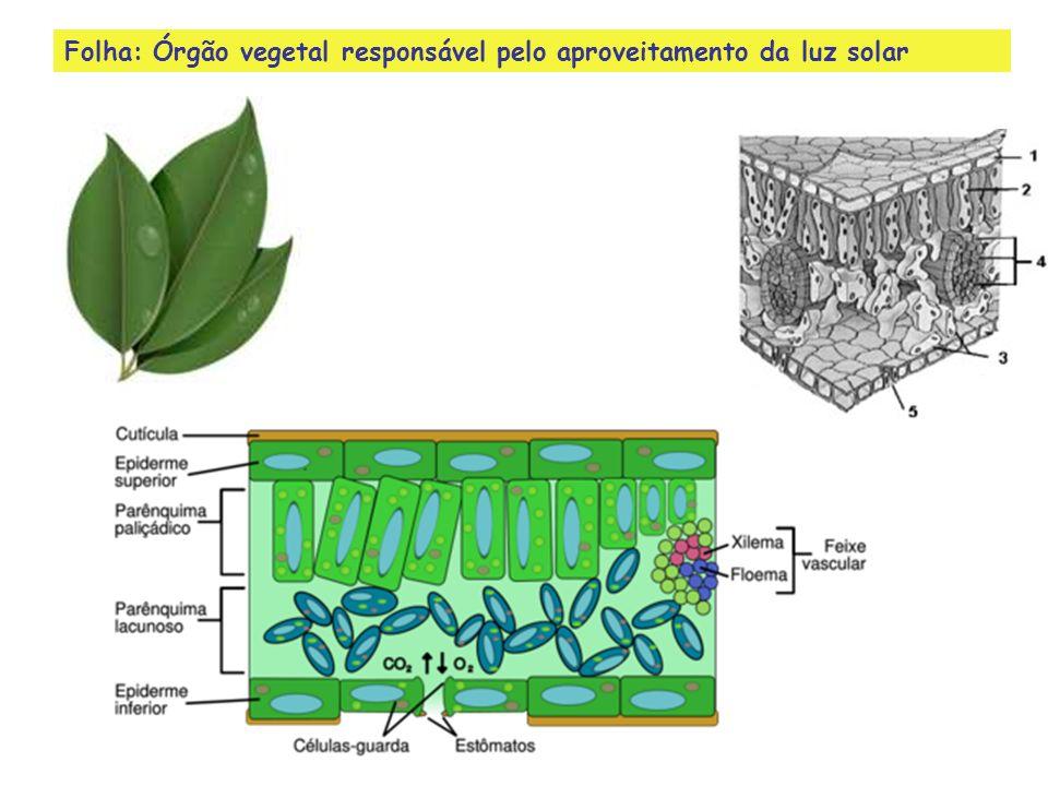 Folha: Órgão vegetal responsável pelo aproveitamento da luz solar