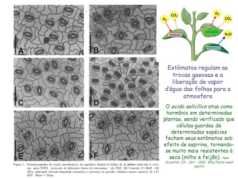 Estômatos regulam as trocas gasosas e a liberação de vapor d'água das folhas para a atmosfera