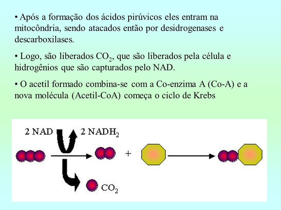 Após a formação dos ácidos pirúvicos eles entram na mitocôndria, sendo atacados então por desidrogenases e descarboxilases.
