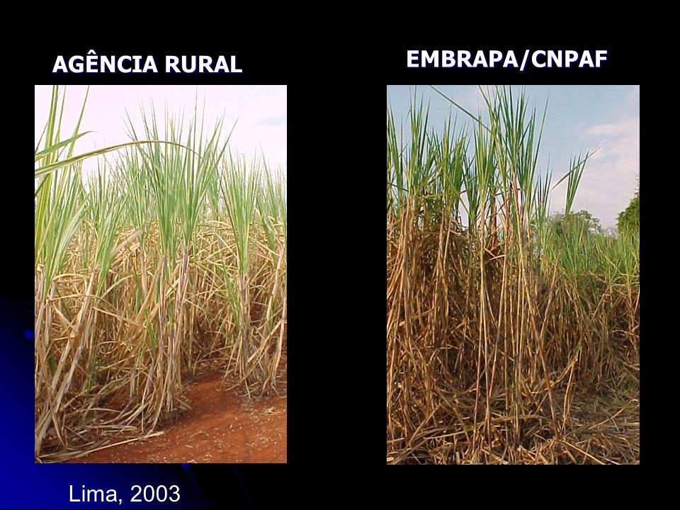EMBRAPA/CNPAF AGÊNCIA RURAL Lima, 2003