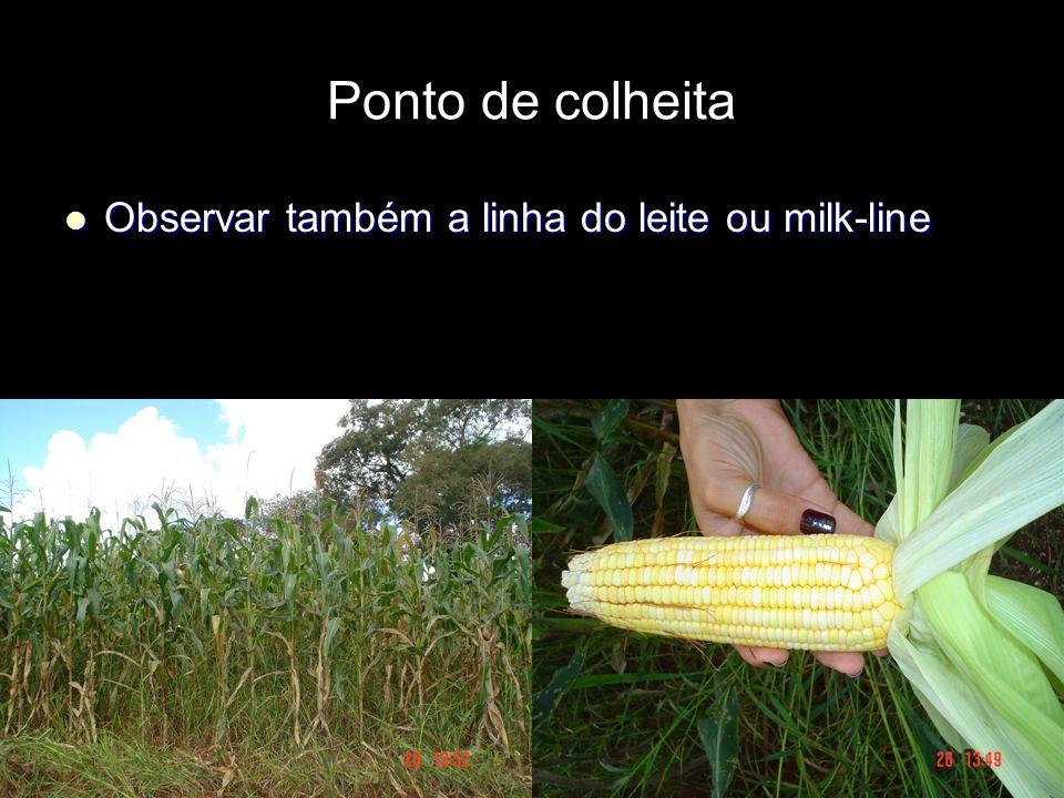 Ponto de colheita Observar também a linha do leite ou milk-line