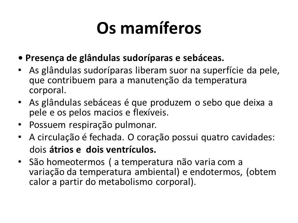Os mamíferos • Presença de glândulas sudoríparas e sebáceas.