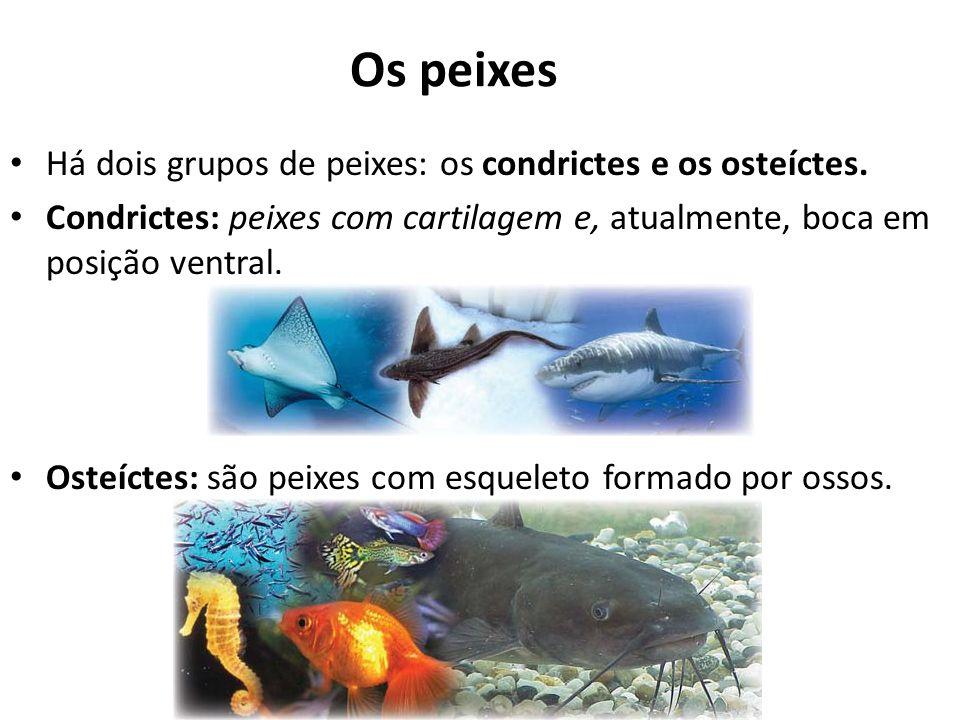 Os peixes Há dois grupos de peixes: os condrictes e os osteíctes.