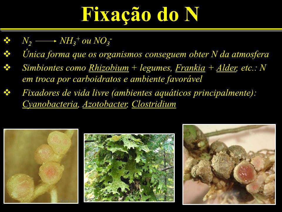 Fixação do N N2 NH3+ ou NO3- Única forma que os organismos conseguem obter N da atmosfera.