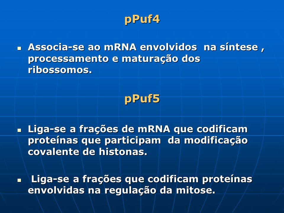 pPuf4 Associa-se ao mRNA envolvidos na síntese , processamento e maturação dos ribossomos. pPuf5.