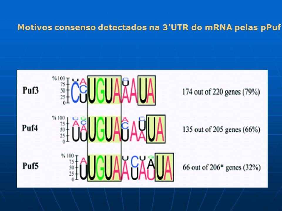 Motivos consenso detectados na 3'UTR do mRNA pelas pPuf