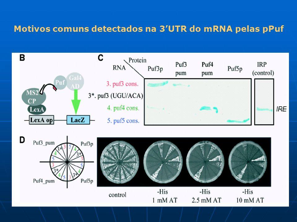Motivos comuns detectados na 3'UTR do mRNA pelas pPuf