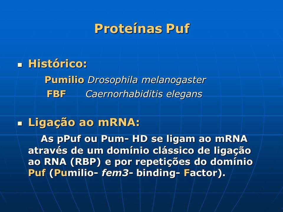 Proteínas Puf Histórico: Pumilio Drosophila melanogaster