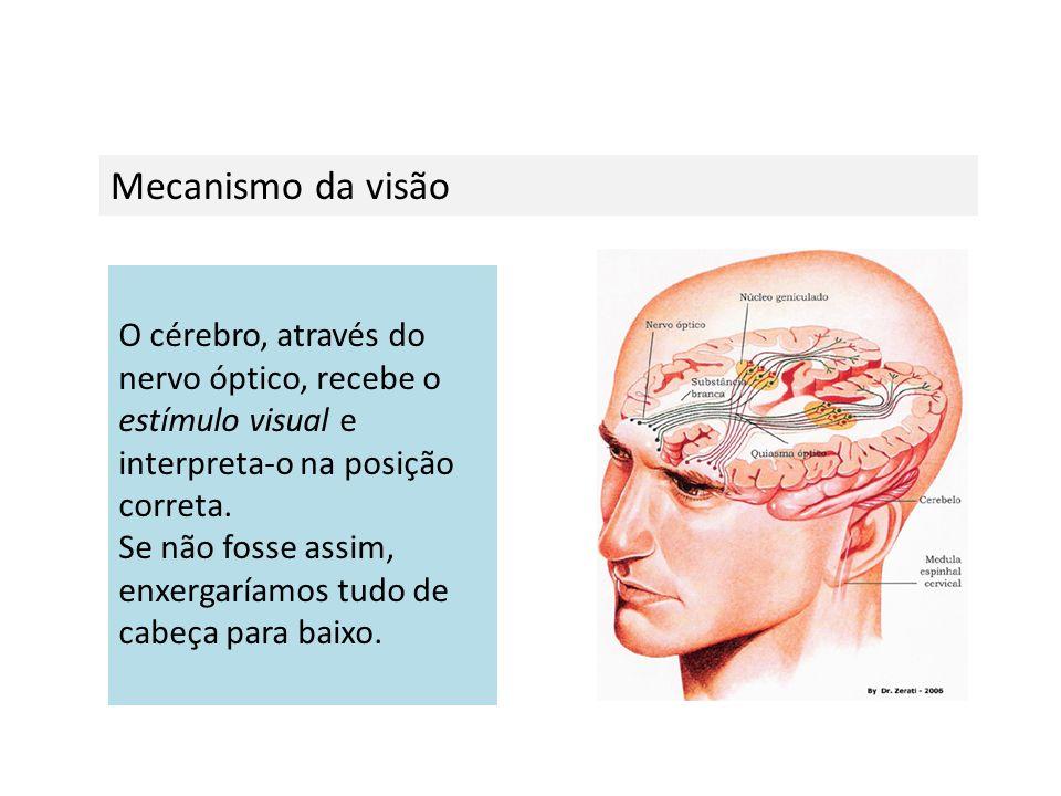 Mecanismo da visão O cérebro, através do nervo óptico, recebe o estímulo visual e interpreta-o na posição correta.