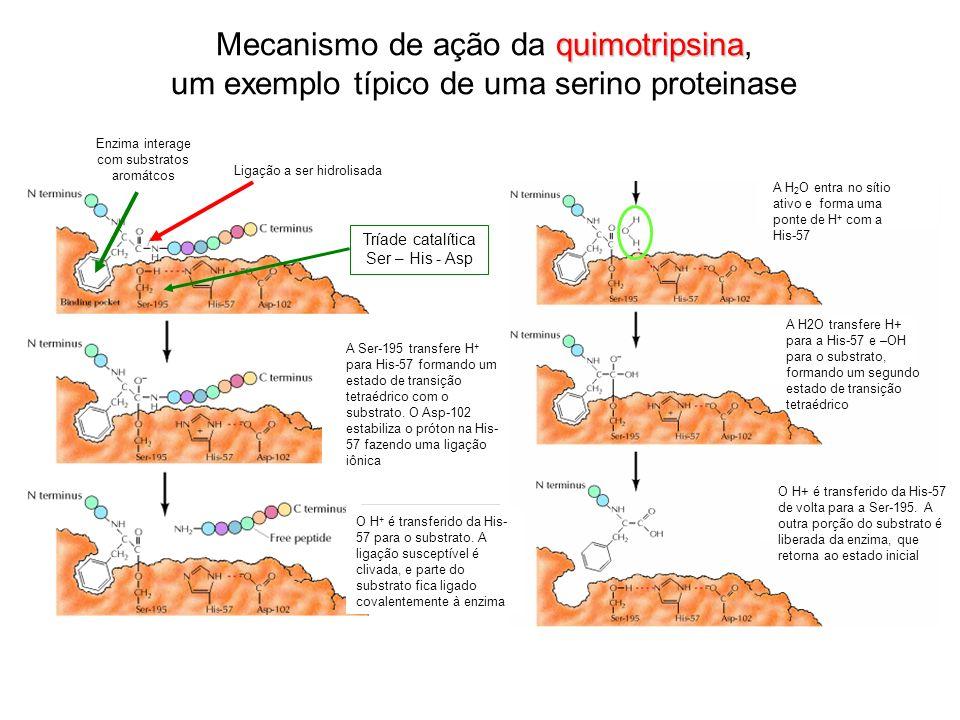 Mecanismo de ação da quimotripsina, um exemplo típico de uma serino proteinase