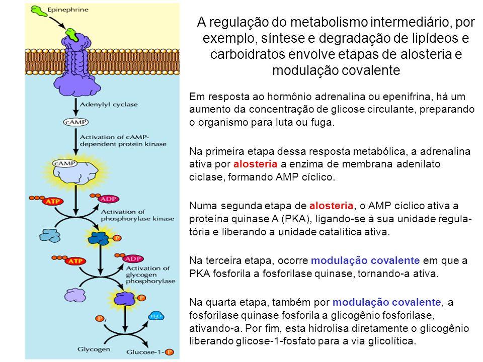 A regulação do metabolismo intermediário, por exemplo, síntese e degradação de lipídeos e carboidratos envolve etapas de alosteria e modulação covalente