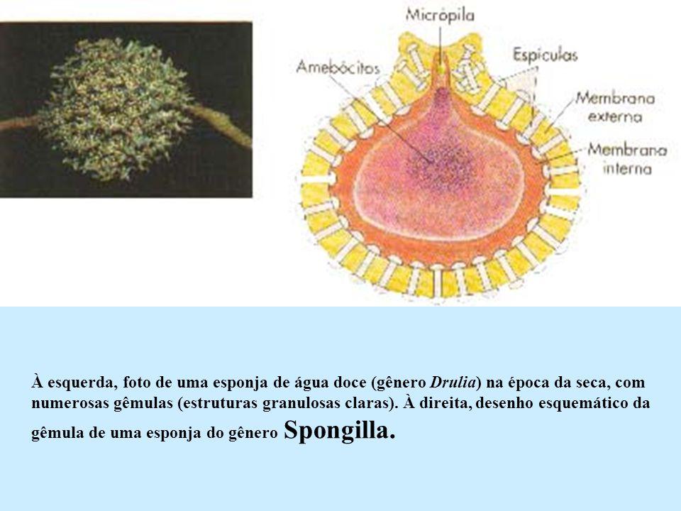 À esquerda, foto de uma esponja de água doce (gênero Drulia) na época da seca, com numerosas gêmulas (estruturas granulosas claras).