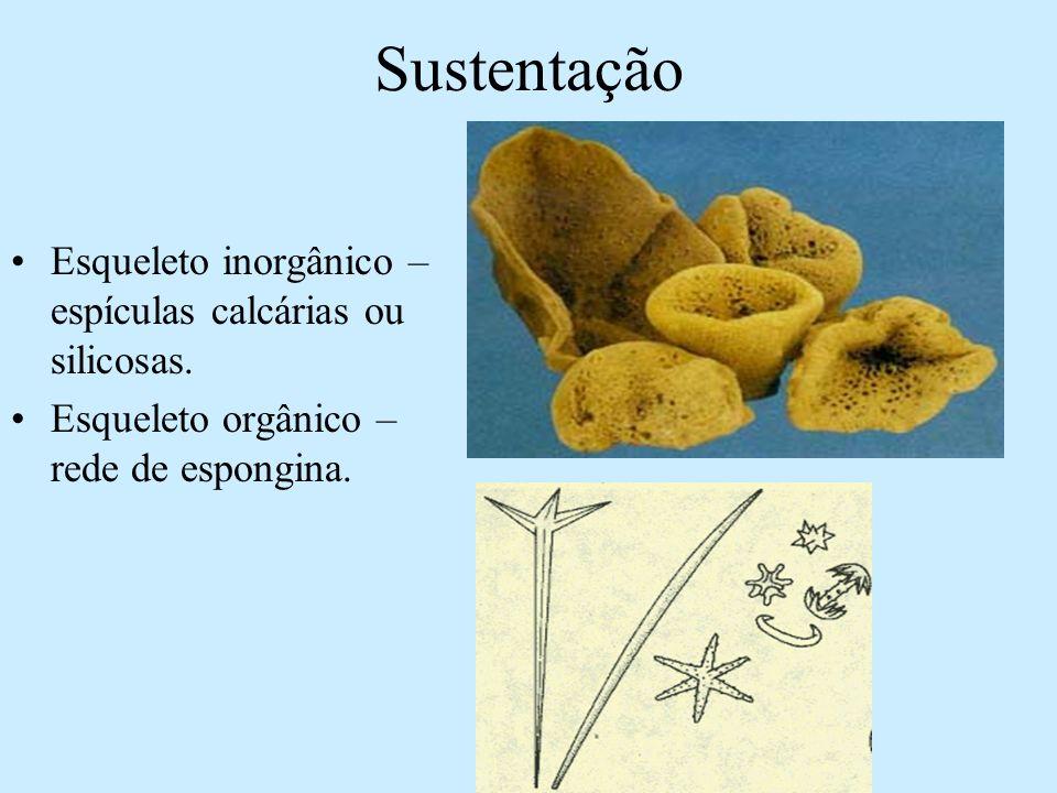 Sustentação Esqueleto inorgânico – espículas calcárias ou silicosas.