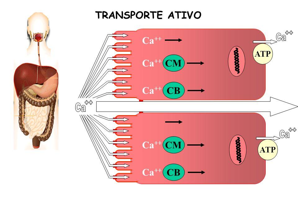 ++ Ca ++ Ca ++ Ca TRANSPORTE ATIVO Ca++ Ca++ CM Ca++ CB Ca++ CM Ca++