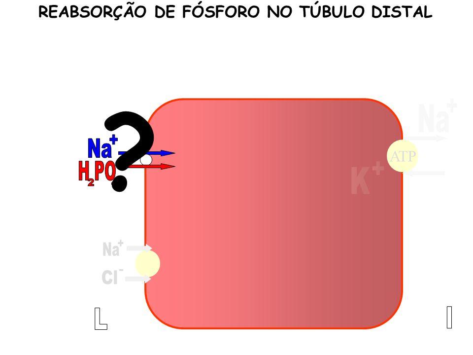REABSORÇÃO DE FÓSFORO NO TÚBULO DISTAL
