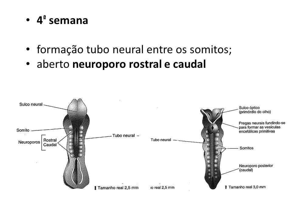 4ª semana formação tubo neural entre os somitos; aberto neuroporo rostral e caudal