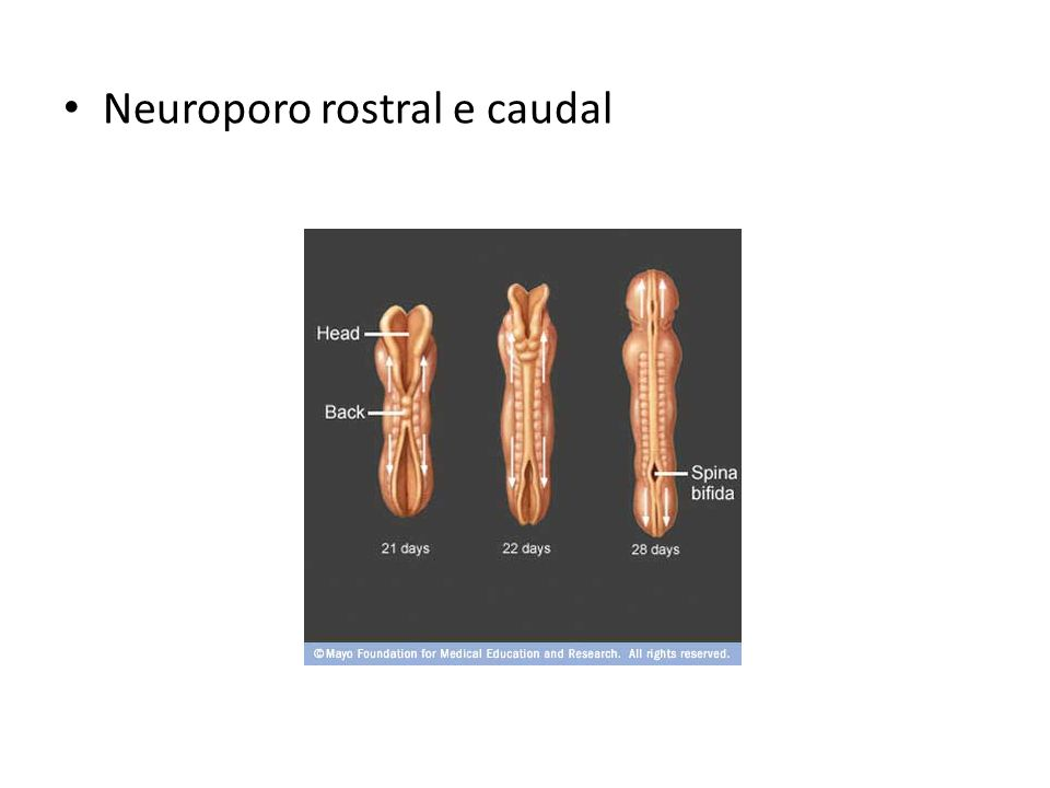Neuroporo rostral e caudal