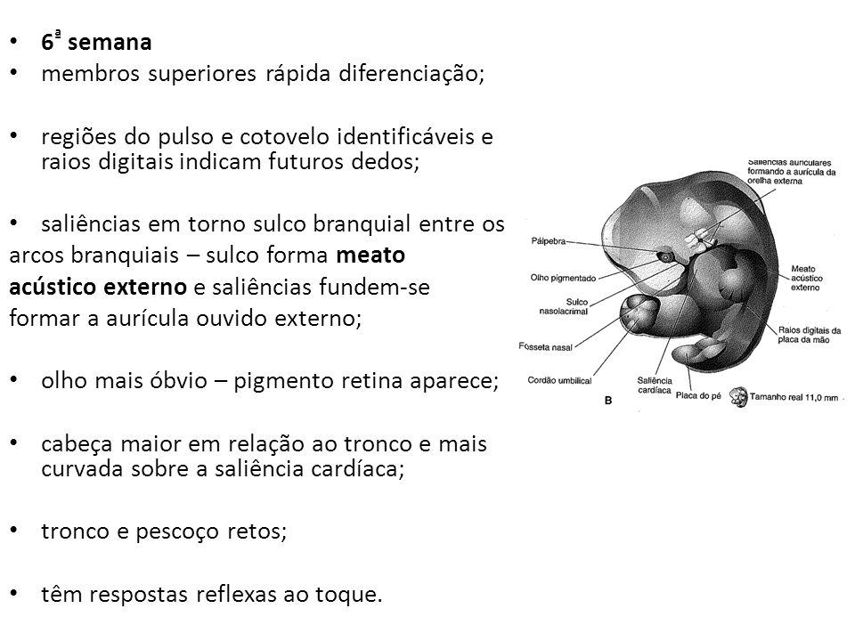 6ª semana membros superiores rápida diferenciação; regiões do pulso e cotovelo identificáveis e raios digitais indicam futuros dedos;