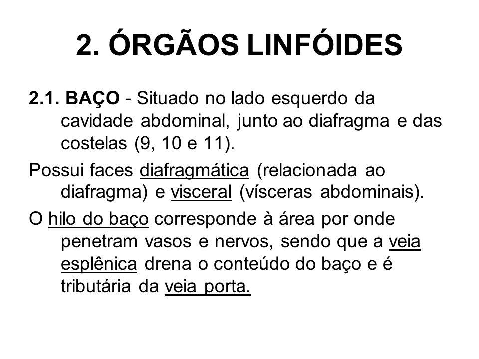 2. ÓRGÃOS LINFÓIDES2.1. BAÇO - Situado no lado esquerdo da cavidade abdominal, junto ao diafragma e das costelas (9, 10 e 11).