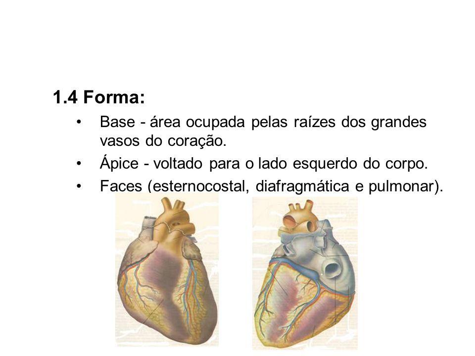 1.4 Forma:Base - área ocupada pelas raízes dos grandes vasos do coração. Ápice - voltado para o lado esquerdo do corpo.