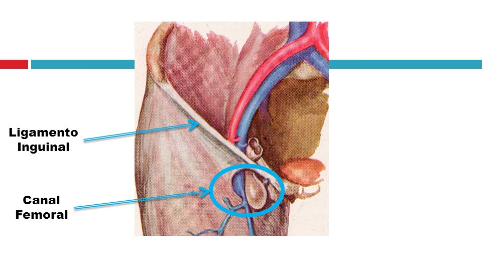 Increíble Ligamento Inguinal Ornamento - Imágenes de Anatomía Humana ...