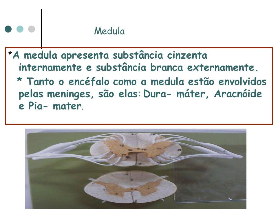 Medula *A medula apresenta substância cinzenta internamente e substância branca externamente.
