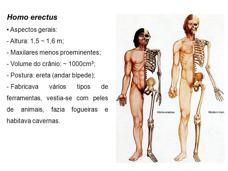Homo erectus Aspectos gerais: Altura: 1,5 ~ 1,6 m;