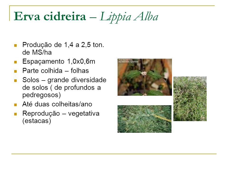 Erva cidreira – Lippia Alba