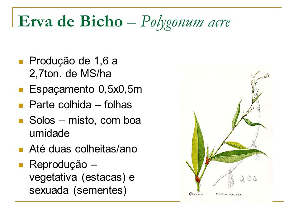Erva de Bicho – Polygonum acre