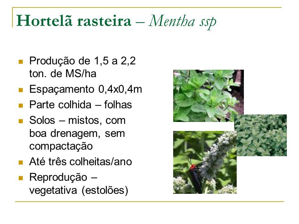 Hortelã rasteira – Mentha ssp