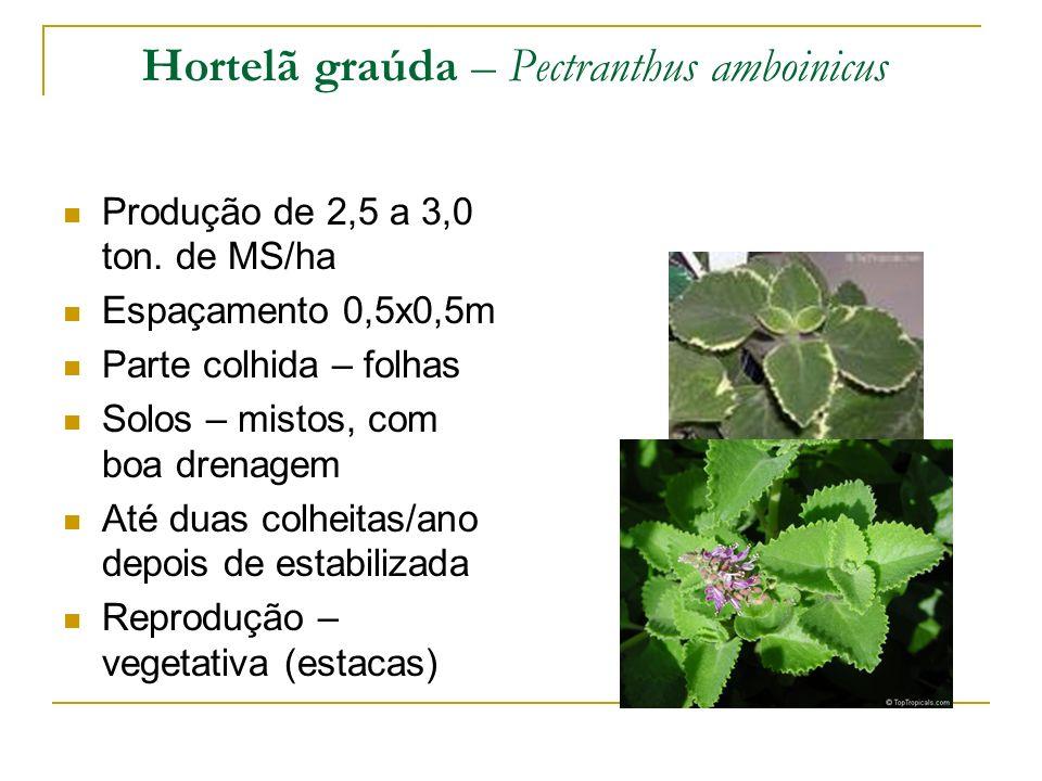 Hortelã graúda – Pectranthus amboinicus