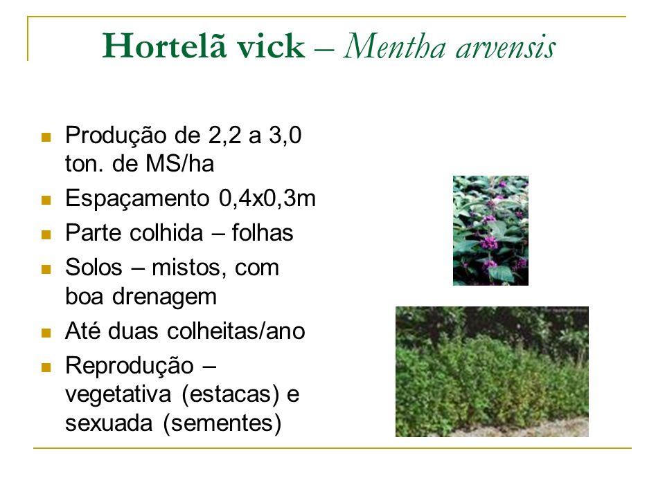 Hortelã vick – Mentha arvensis