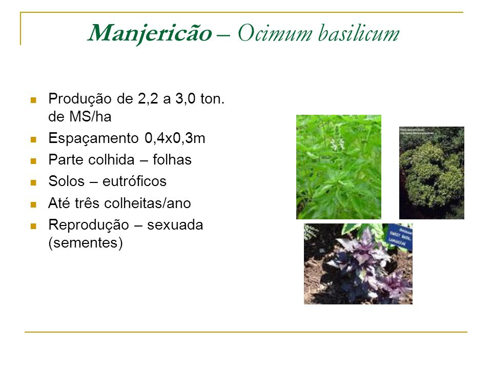 Manjericão – Ocimum basilicum