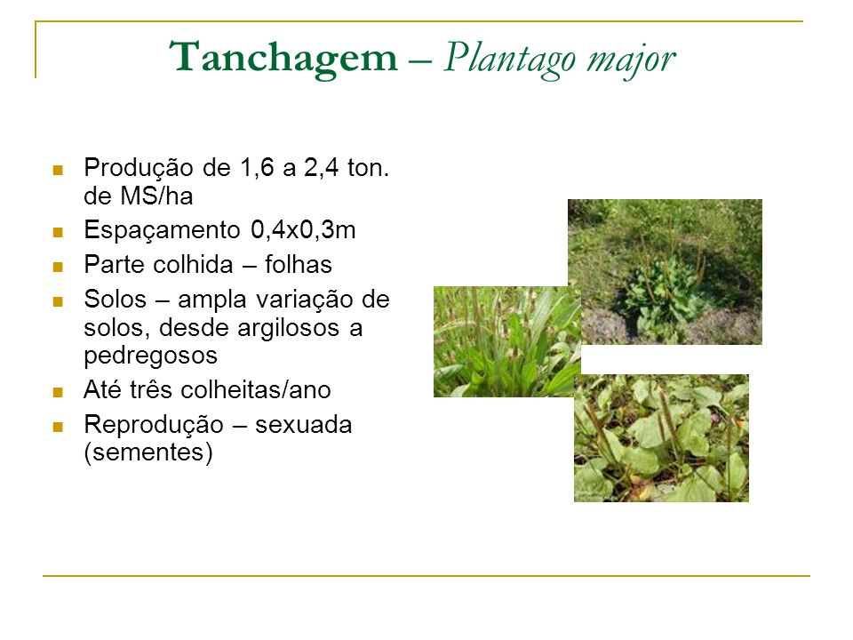 Tanchagem – Plantago major