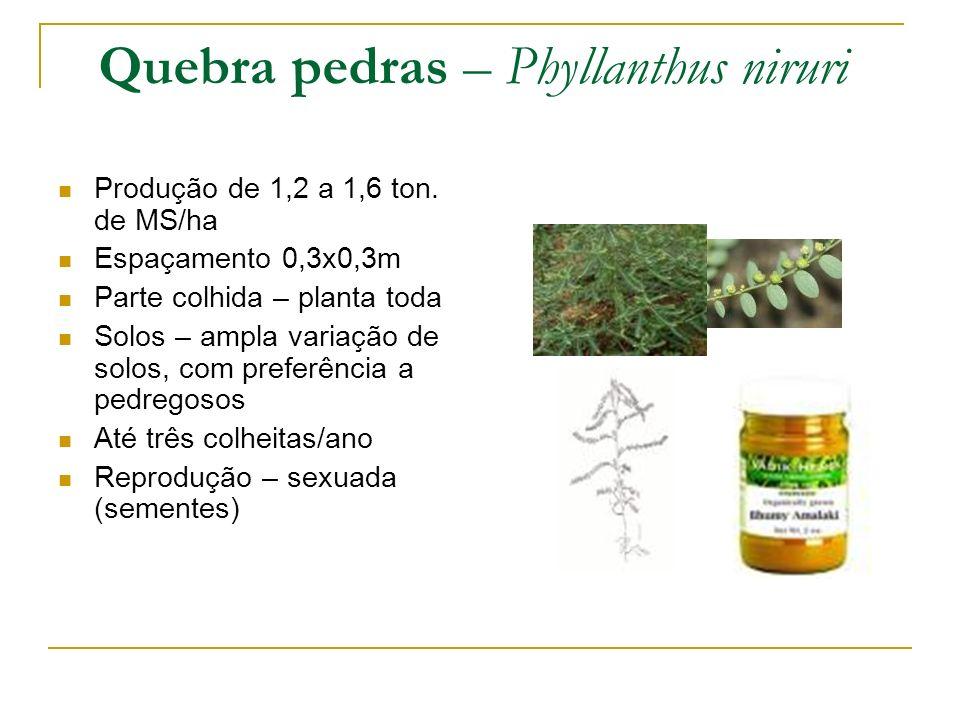 Quebra pedras – Phyllanthus niruri