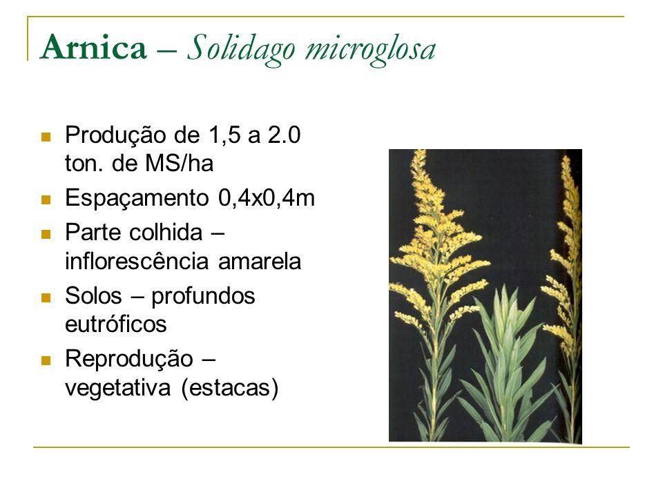 Arnica – Solidago microglosa