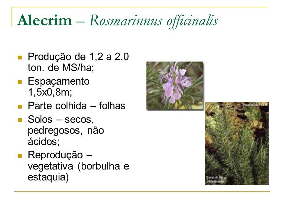 Alecrim – Rosmarinnus officinalis