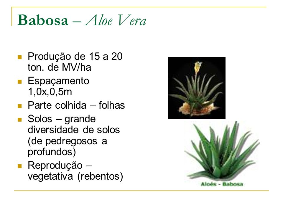 Babosa – Aloe Vera Produção de 15 a 20 ton. de MV/ha