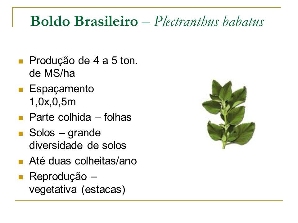 Boldo Brasileiro – Plectranthus babatus