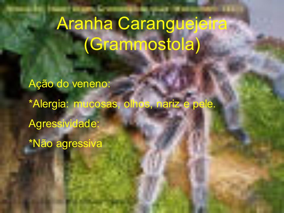 Aranha Caranguejeira (Grammostola)