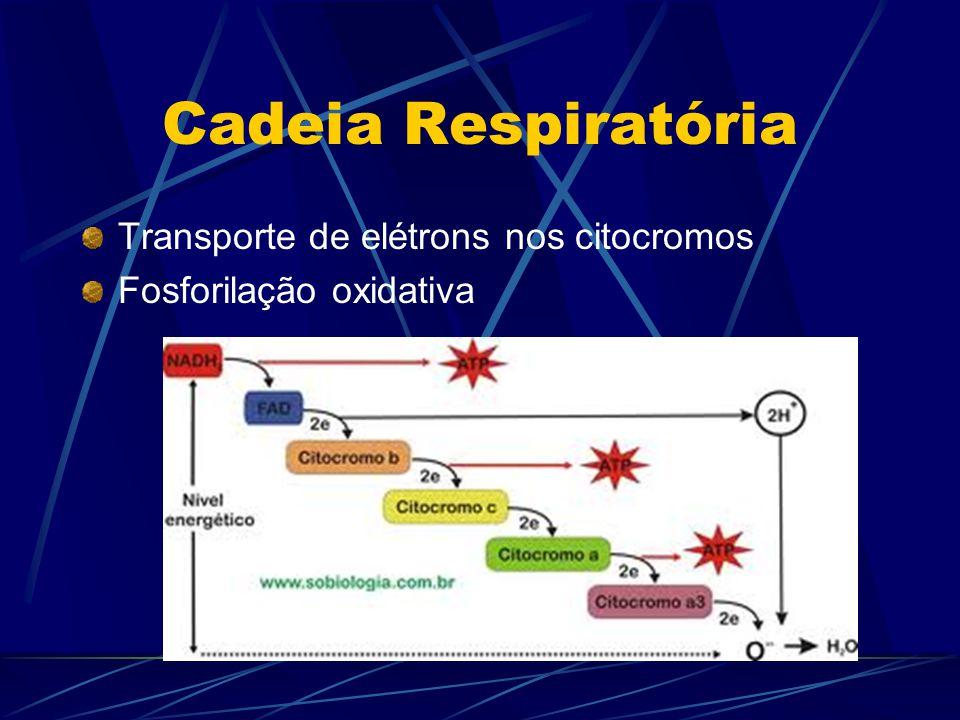 Cadeia Respiratória Transporte de elétrons nos citocromos